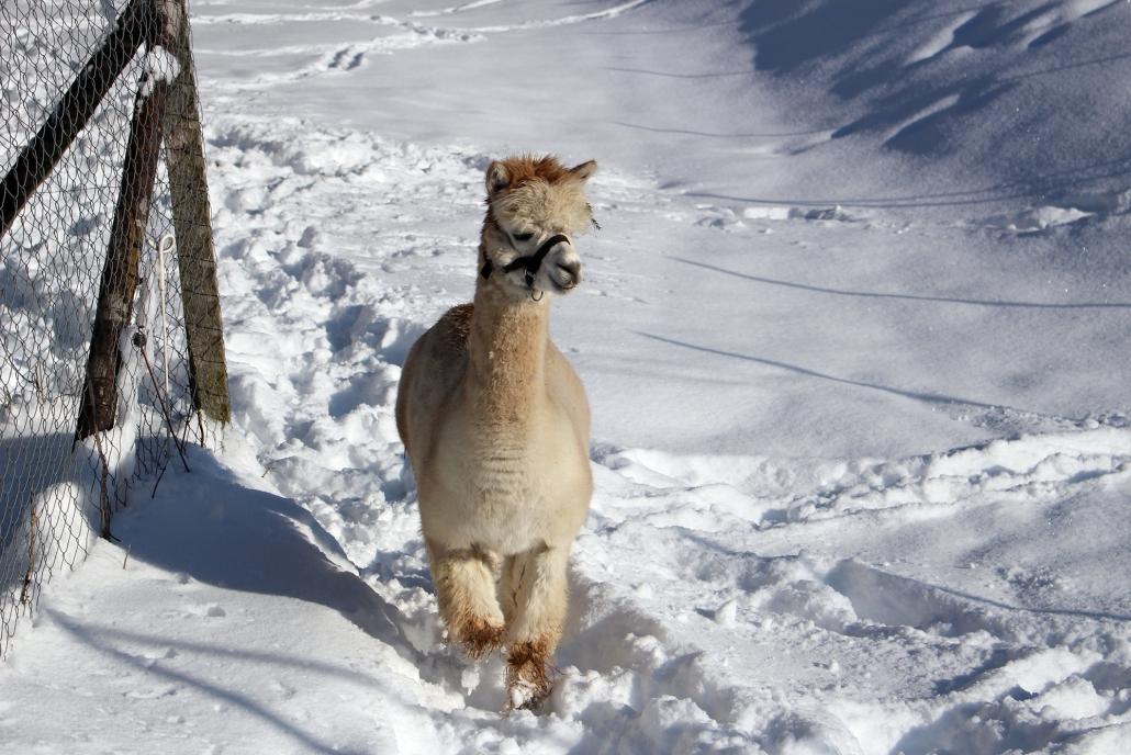 Die Alpacas spazieren auch im Winter draußen rum