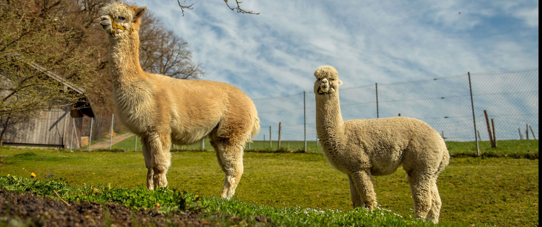 Unsere Alpacas Kare und Seppi