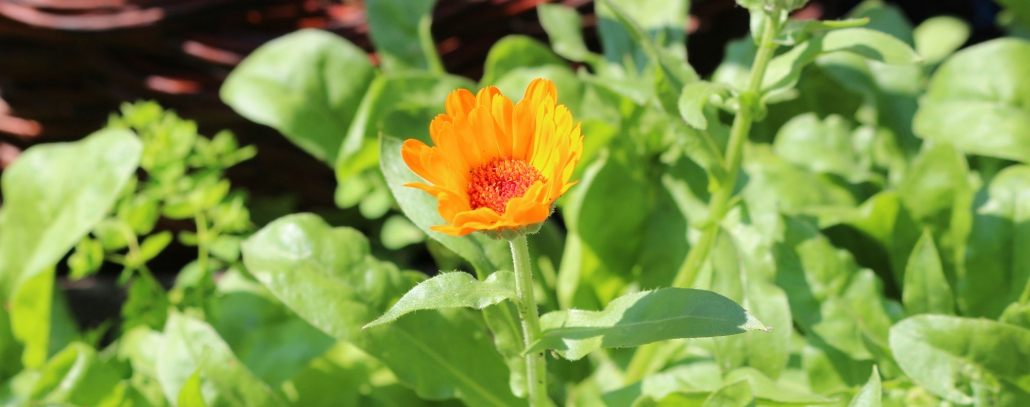In unserem Garten wächst die heilende Ringelblume