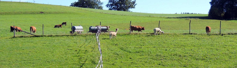 Weidevieh und Alpacas